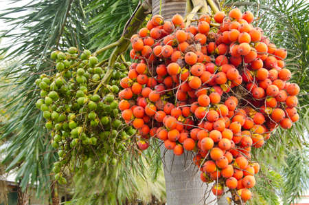 Ripe and Raw Betel Nut Or Areca Nut Palm On Tree photo