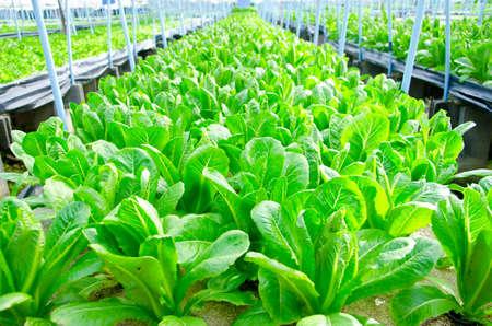 romaine: Cos Lettuce, Romaine Lettuce hydroponics vegetable farm in Thailand Stock Photo