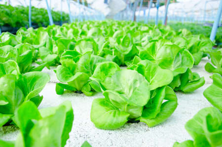 l agriculture: green cos lettuce butterhead - hydroponics vegetable farm in Thailand Stock Photo