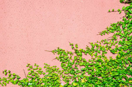 creeping fig: The Green Creeper Plant on orange color wall