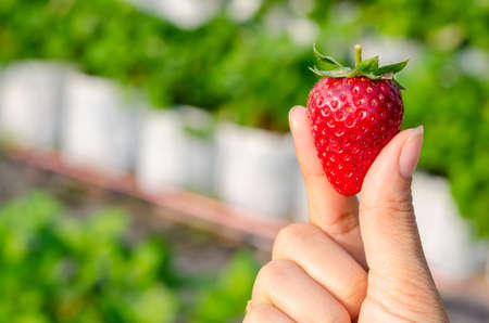 Perfect fresh strawberry being plucked, with green leaves in the background Imagens - 53451734