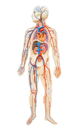 anatomically: Human anatomy of man on white background, save clipping path. For paramedic.