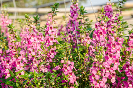 TỨ TUYỆT HOA  - Page 24 53461977-closeup-of-beautiful-purple-pink-and-white-flower--angelonia-goyazensis-benth