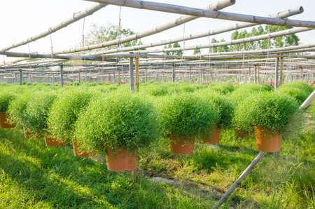 babys: Gypsophila flower or babys breath in hanging pots at plant nursery Stock Photo