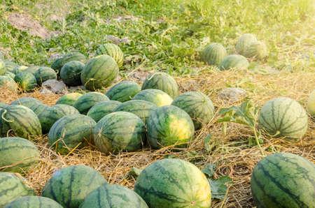 Watermelon in a vegetable garden for harvest.