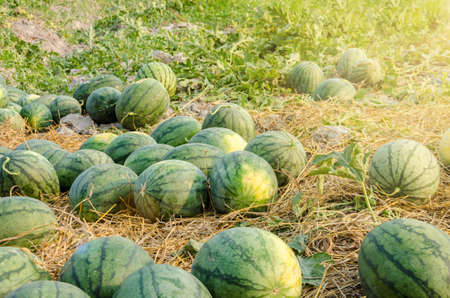 Watermelon in a vegetable garden for harvest.