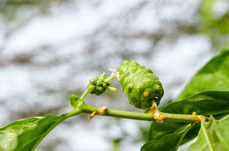 morinda: Fresh green Indean mulberry, beach mulberry, great morinda, Tahitian noni with flower.