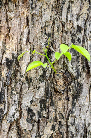 New young leaves sprouting from brown bark of old trunk