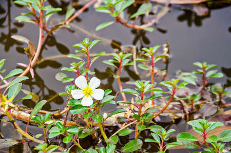 repens: Sunrose willow or Jussiaea repens Linn with flower in water. Stock Photo