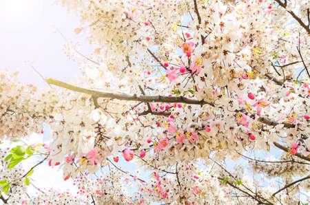 wishing: Wishing Tree, Pink Showe, Cassia Bakeriana Craib with daylight.