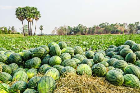 Watermelon Group in Farm Green. Stock Photo