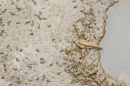 mesogobius: Wetland Mudskipper, Amphibious fish in Thailand