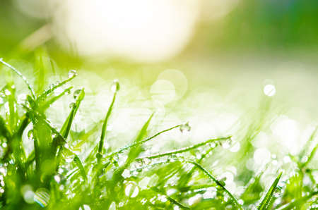 sunup: Fresh green grass with water drops.