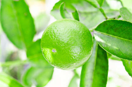 florida citrus: Lime tree with fruits in the garden.
