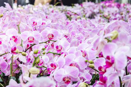 Beautiful purple pink orchid - phalaenopsis (orchid) in garden.