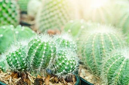 Cactus is the scientific name Mila sp in garden.