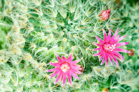 Macro closeup of hot pink purple flowers in garden of Echinopsis Lobivia hybrid cactus