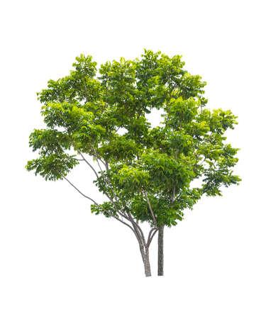 Beautiful green tree isolated on white background. Stock Photo