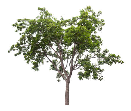 Beautiful green tree isolated on white background.