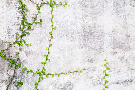 Green Creeper Plant on cement wall, abstract background. Foto de archivo