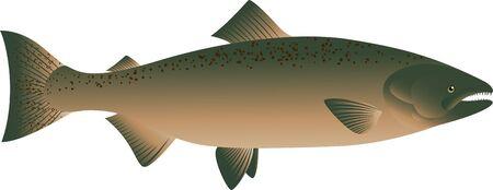 carp fishing: illustrazione vettoriale di pesce salmone Vettoriali