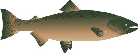 carp fishing: vector illustration of Salmon Fish