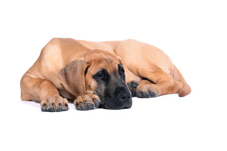 pure bred: Puppy fawn Great Dane,German breed, in front of white background