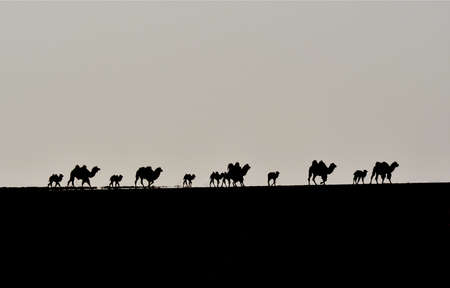 Camels silhouette