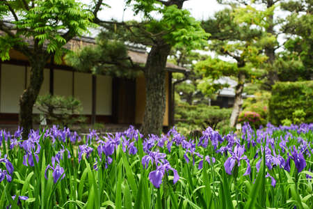 Iris laevigata and japanese old house 写真素材