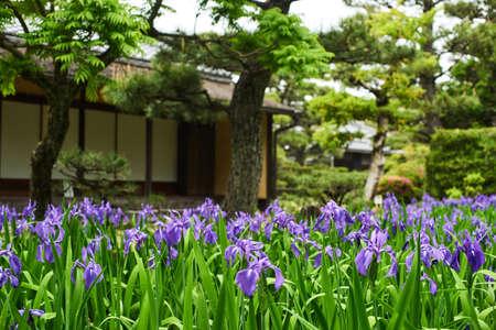 Iris laevigata and japanese old house Фото со стока