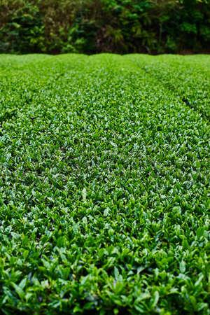 Tea plantation 写真素材