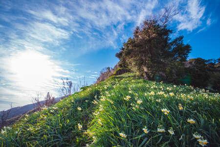 Lily flower blooming Sakai Kuroiwa Narcissus Park