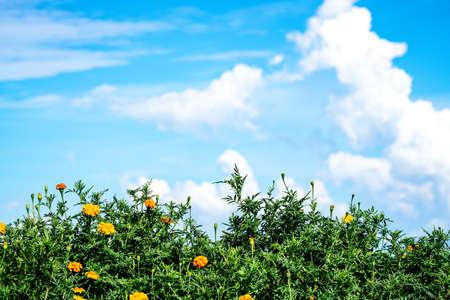 Summer Sky and Marigold Awaji Island