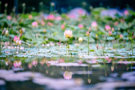 Water Lilies Lotus Pond Flower Фото со стока