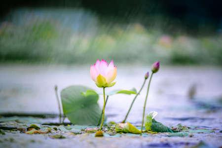 Water Lilies Lotus Pond Flower
