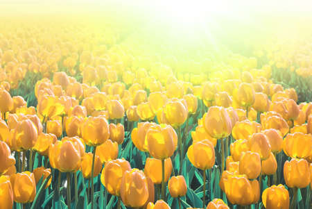 Yellow tulips in a field. These flowers were shot in Holland (the Netherlands) near Sassenheim in one of the many 'bollenvelden'. You can find colorful fields there in spring.