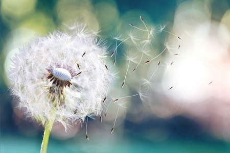 Dandelion seeds in the sunlight blowing away across a fresh green morning background Stockfoto - 110292812