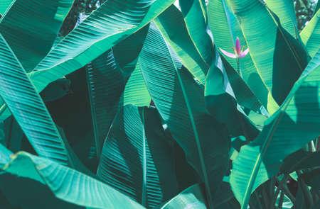tropical banana leaf texture, large palm foliage nature dark green background Reklamní fotografie