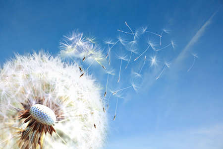 Dandelion. Close up of dandelion spores blowing away,blue sky.dandelion seeds close up blowing in blue turquoise background Фото со стока