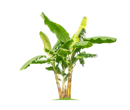 Banana tree isolated on white background In addition, we will be eating banana. Other parts of the banana, we can also use it.