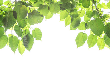 Bo leaves isolated on White Background with bright of sunrise, Bo is name of leaves in Buddhism Stok Fotoğraf