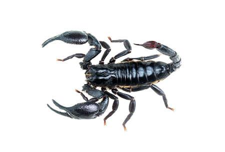 Emperor Scorpion, Pandinus imperator, isolate on White Background,