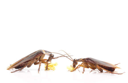 action image of Cockroaches, Cockroaches isolated on white background
