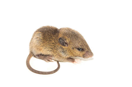 Rat isolated on white background. closeup young fluffy rat (Rattus norvegicus)