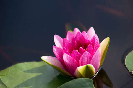 Pink water lily flower with yellow Stamens. Is about to bloom and close up by big green leaves floating on the water. Can be used as a background image and can be used as a study of lotus species.