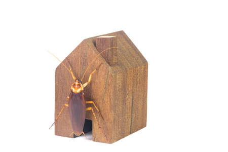 Cockroaches and house models on a white background.The concept of home invasive pest control and cockroach protection. Cockroaches carry the disease to humans. Stock Photo