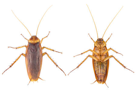 action image of Cockroaches, Cockroaches isolated on white background.  High-resolution cockroach images,Suitable for graphics or advertising work