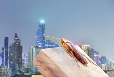 Cockroaches caught on the wood behind the city. The concept of preventing cockroaches and eliminating cockroaches that invade the house.
