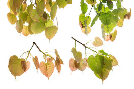 Bodhi leaves isolated on White background.The collection of Bodhi leaves or Peepal Leaf from the Bodhi tree, Sacred Tree for Hindus and Buddhist.,Used for graphics or advertising work.