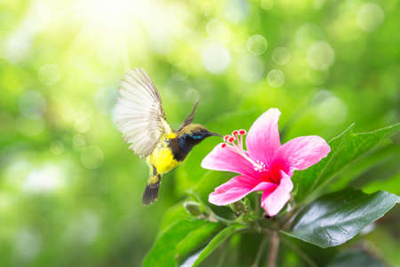 Beautiful flying Bird (Olive-backed Sunbird), beautiful bird flying and eating nectar from the flowers. Pink hibiscus flower on a green background. In the tropical garden.